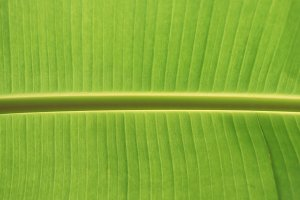Banana palm leaf texture