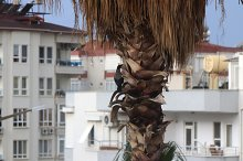 Crow sitting on a palm tree