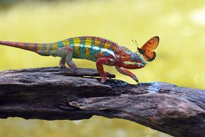 Chameleon with Butterflies