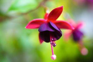 fuchsia in nature, ` Huet's Kwarts`