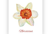 Narcissus. watercolor painting