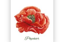 Poppy. watercolor painting