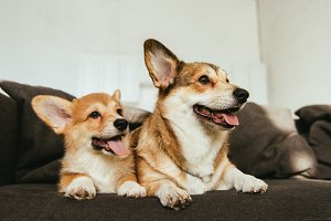 welsh corgi dogs sitting on sofa in