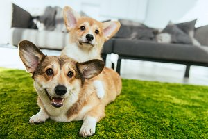 close up view of two cute welsh corg
