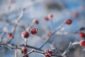 Frozen rose hip in winter