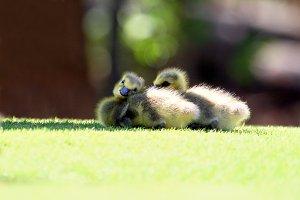 Sleepy Goslings