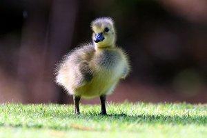 Lone Gosling