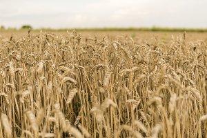 Golden ears of wheat on the field