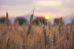 Sunset over the Wheat Field