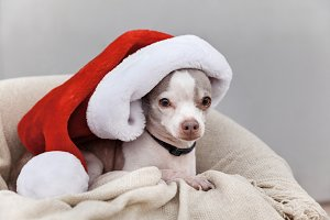 Adorable Dog Wearing Christmas Hat