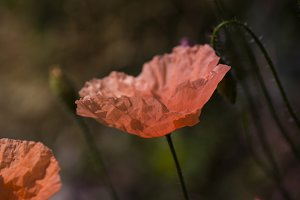 Corn poppy IV