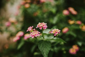 Lantana flower bushes closeup