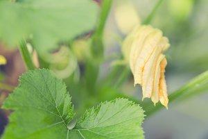 Zucchini Blossom - zucchini plant