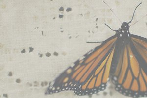 Monarch Butterfly Wing Photo