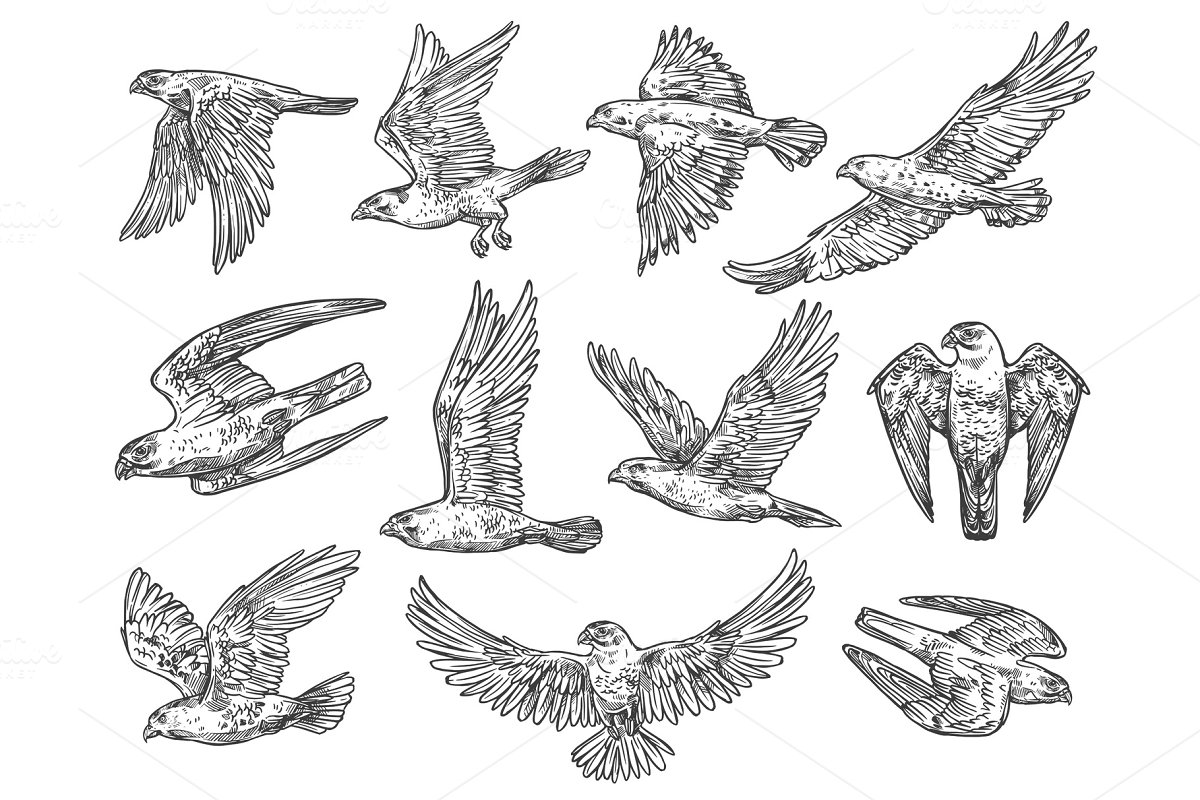 Sketches of eagle falcon and hawk illustrations creative market