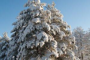 Winter snowy trees