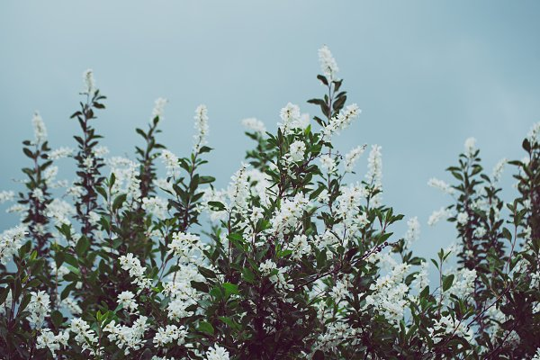 Stock Photos: Nature and travel - Spring white flowers
