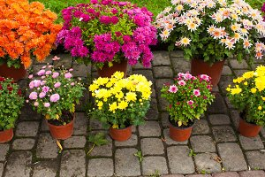 Variety of chrysanthemums on the