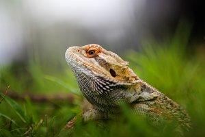 lizards behind grass