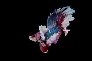 Colourful Betta fish