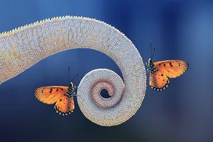 Butterflies on Tail Chameleon