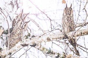 three owls sitting during a snowfall