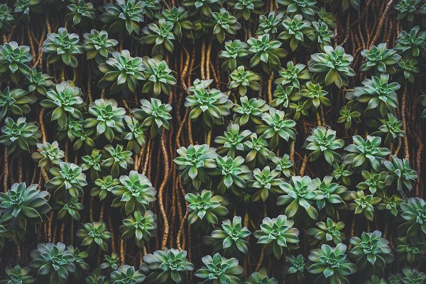Stock Photos: Visual Motiv - Sedum Palmeri Succulent plants II