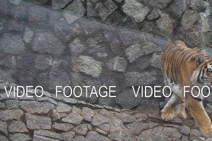 Big tiger in zoo.