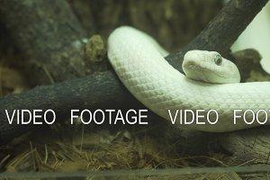 White snake lies on a branch