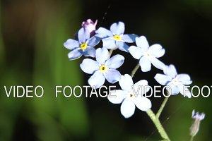 Beautiful blue wild flower.Macro.
