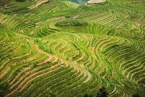 Beautiful Landscape rice fields.