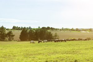A herd of cows graze on the field -