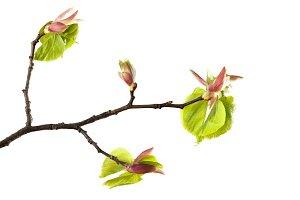 Linden spring