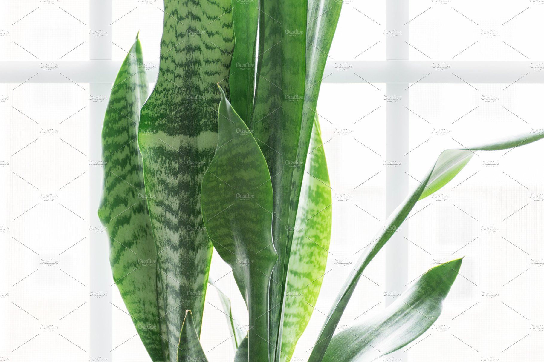 Snake Plant In Modern White Planter Arts Entertainment Photos Creative Market