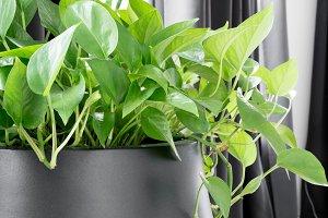 Pothos Houseplant in Modern Planter