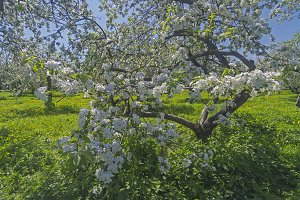 Blossoming apple.