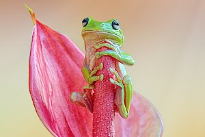 Dumpy Frog, Frogs, Tree Frog