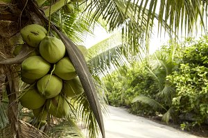 Coconut tree with coconut fruits.