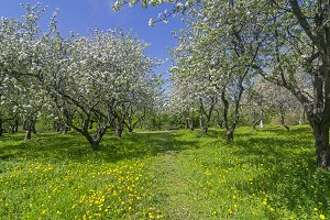 Old apple orchard in flowering.