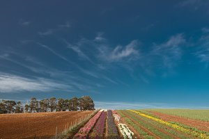 Beautiful tulip farm