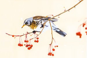 bird in winter eats red berries on a