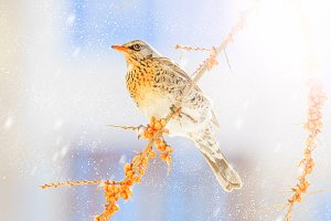 thrush on a winter snowy morning