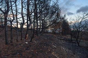 Burnt evergreen pine forest sunset