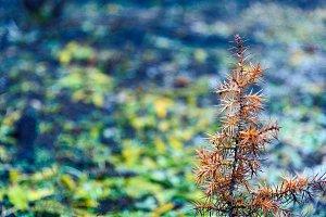 Juniper little orange tree closeup