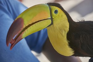 Detail of the Tucan