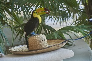 Tucan on the hat