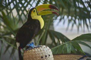 The tucan over the hat