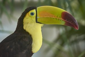 Portrait close up of a toucan in the