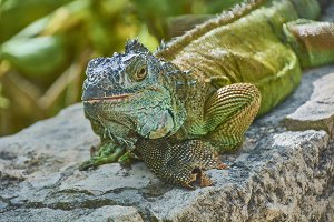 Green Iguana of the Pacific