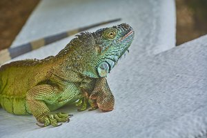 Green Iguana of the Pacific #3